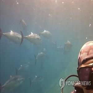 참다랑어,어획,쿼터량,어획량,증가,동해안