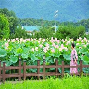 마을,관광객,울미연꽃마을,프로그램