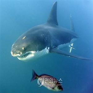 상어,공격,호주