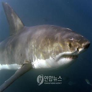 상어,공격,백상아리,메인주,해안,워치