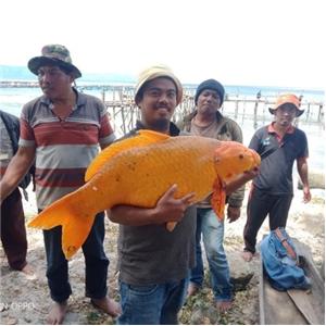 금붕어,토바호수,호수,인도네시아