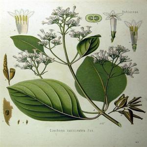 나무,말라리아,치료제,코로나19,페루,퀴닌