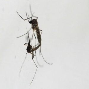 모기,뎅기열,수컷,감염,싱가포르