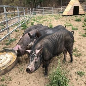 재래돼지,돼지,대표,품종,송학농장,복원,등재