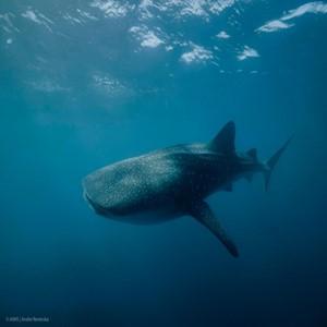 고래상어,수컷,연구팀,새끼,성장,암컷
