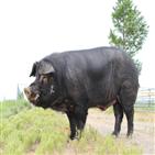 돼지,품종,개발,축진참돈