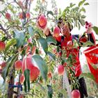 분양,장수,사과나무