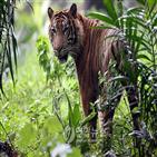 호랑이,두리안,인도네시아,주민,수마트라,열매