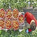 딸기,재배,안동,하우스,비닐하우스,농업,수확,농사,상자,귀농