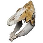 일각돌고래,고래,혼종,두개골,이빨