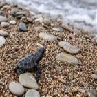 암컷,바다거북,카보베르데,새끼,수컷,미국