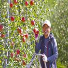 사과,농사,경우,사과나무,귀농,청송,태풍,상자,창고,사과밭