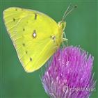 곤충,감소,개체,지역,연구,나비