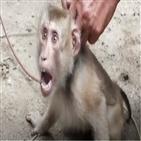 원숭이,코코넛,태국,강제,주장,학대