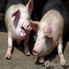 구제역,돼지,중국