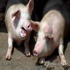 구제역,중국,발병,돼지