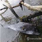 모리셔스,돌고래,기름유출,떼죽음,기름
