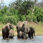 코끼리,독성,보츠와나,시아노박테리아,야생동물,떼죽음