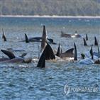고래,호주,거두고래,해변,구조