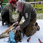 호랑이,아무르,밀렵꾼,러시아,현지