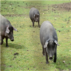 흑돼지,이베리코,스페인,돼지,정부,규제