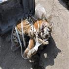 호랑이,아무르,러시아,국경수비대,사체