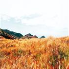 가을,힐링,억새,관광지,단풍,대면,산책,아름다운,편백나무
