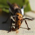 장수말벌,벌집,발견,꿀벌