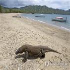 코모도왕도마뱀,인도네시아,개체,1천