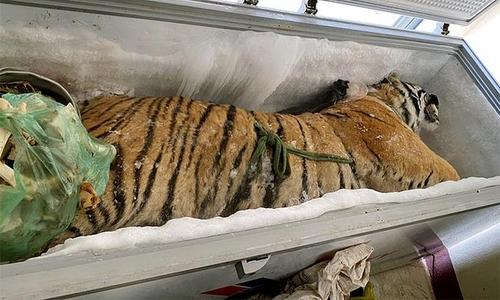 베트남 가정집 냉동고서 무게 160kg 호랑이 사체 나와