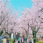 개화,벚꽃,평년