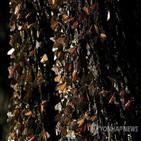 왕나비,겨울,멕시코,월동,이동