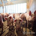 중국,미국,관세,농장,돼지,돼지고기