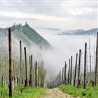 와인,바롤로,생산,와이너리,이탈리아,피에몬테,지역,가비,피오,스카비노