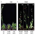 유전자,가위,아데닌,염기교정,식물,애기장대