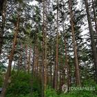 금강송숲,등재,위해,산림청,추진