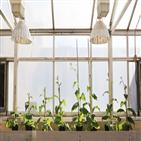 광호흡,광합성,식물,유전자,효율,생산량