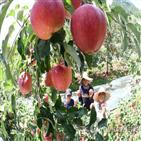 꽃눈분화율,사과,가지치기,품종,확보