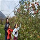 분양,수확체험,사과