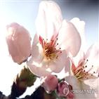 벚꽃,꽃망울,만끽,봄꽃,관광객,축제,날씨