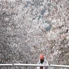 벚꽃,축제,유채꽃,관광객,산불,전국,제주,봄꽃,구간,상행