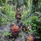팜오일,인도네시아,사용,퇴출,말레이시아,열대우림