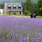 라벤더,꽃밭,마을,축제,향기,보랏빛,사진,꽃대