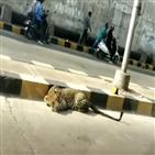 인도,표범,봉쇄,코끼리,모습