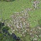 아프리카돼지열병,돼지,중국