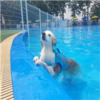 야외수영장,반려견,여름,수영장