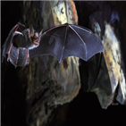 박쥐,유전자,게놈,인간,바이러스,분석,포유류