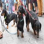 파운드,강아지,가격,코로나19