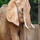 동물원,아프리카코끼리