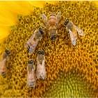 꿀벌,수분,작물,해바라기